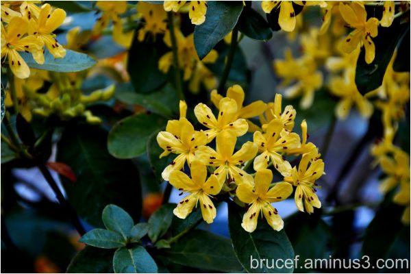 Rhododendron Species Botanical Garden - Yellow