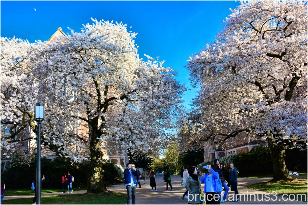 Spring at the University of Washington