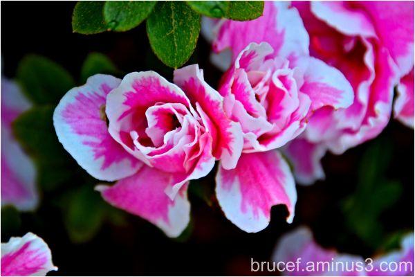 Rosebud Azaleas