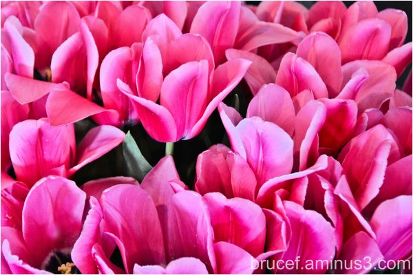 Pink and more Pink Tulips