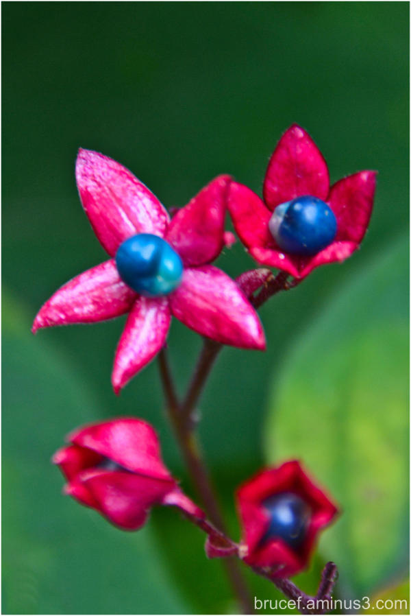 Harlequin Glorybower
