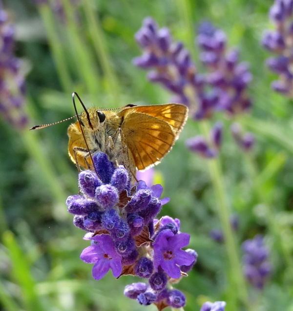 lavender juice