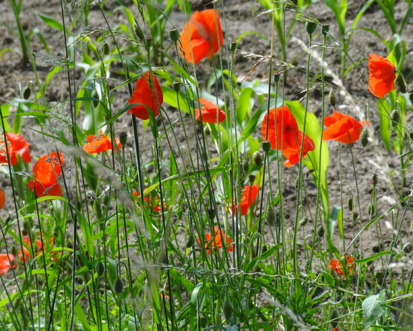 poppy verticals