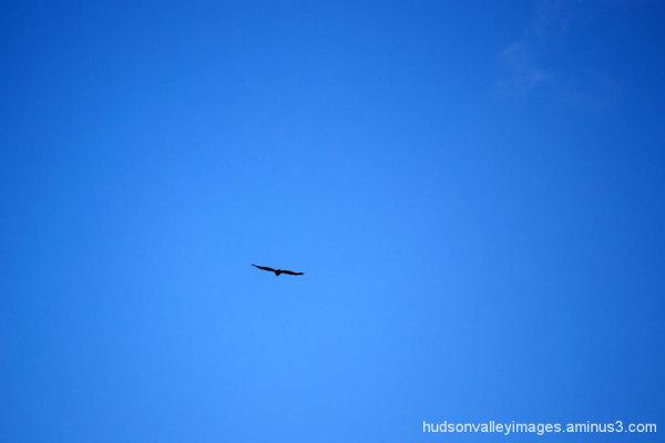 Blue Sky Hawk