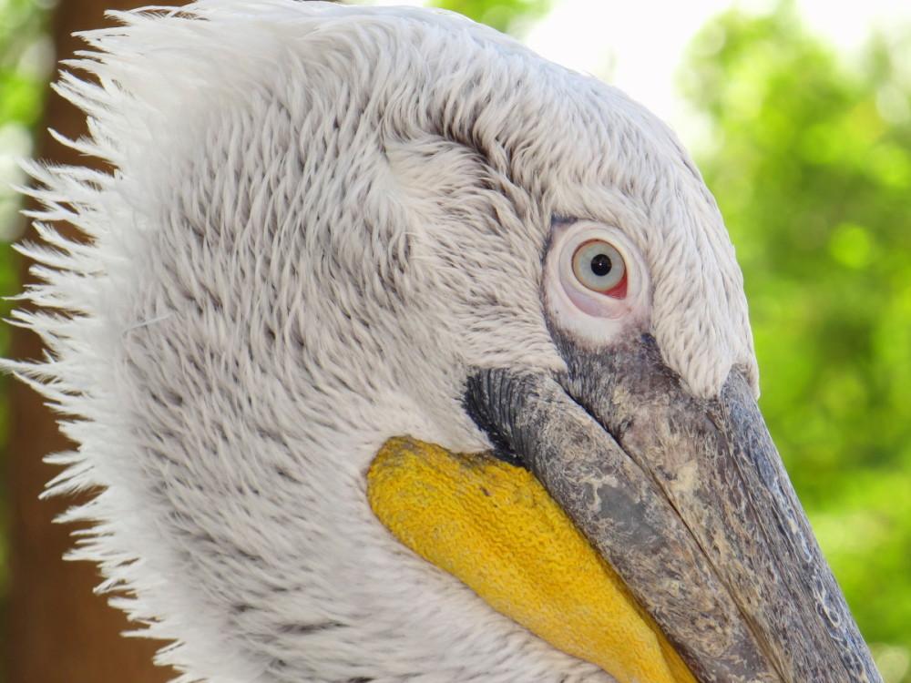 White-pelican bird