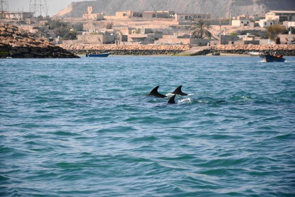 qeshm island persian-gulf dolphin جزیره-هنگام