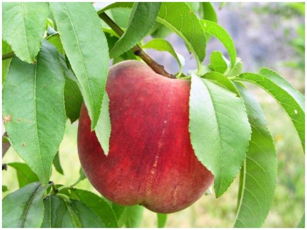 Delicious peach!