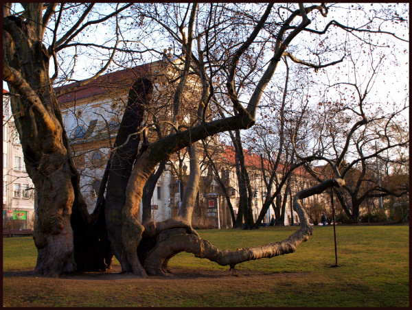 this is one of the oldest protected trees in Pragu