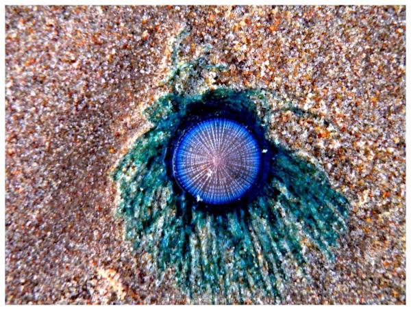 Hydrozoa Porpita porpita blue button