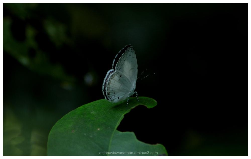quaker butterfly