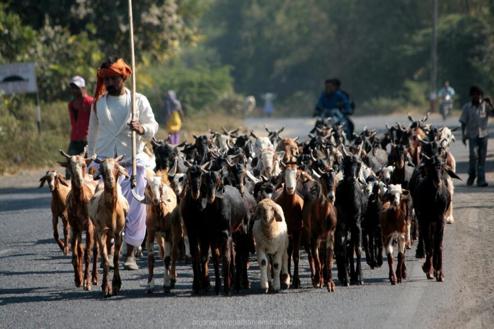 Shepherd herding his cattle on the highway.