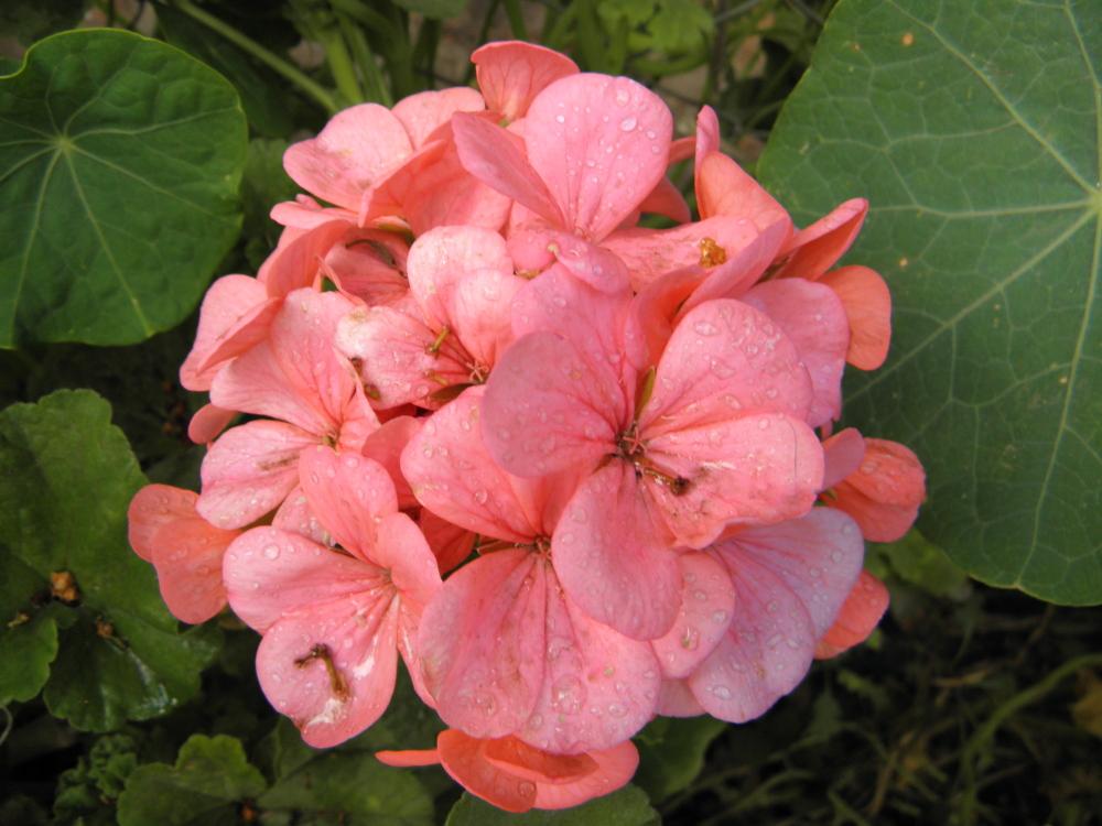Flor de Malvón