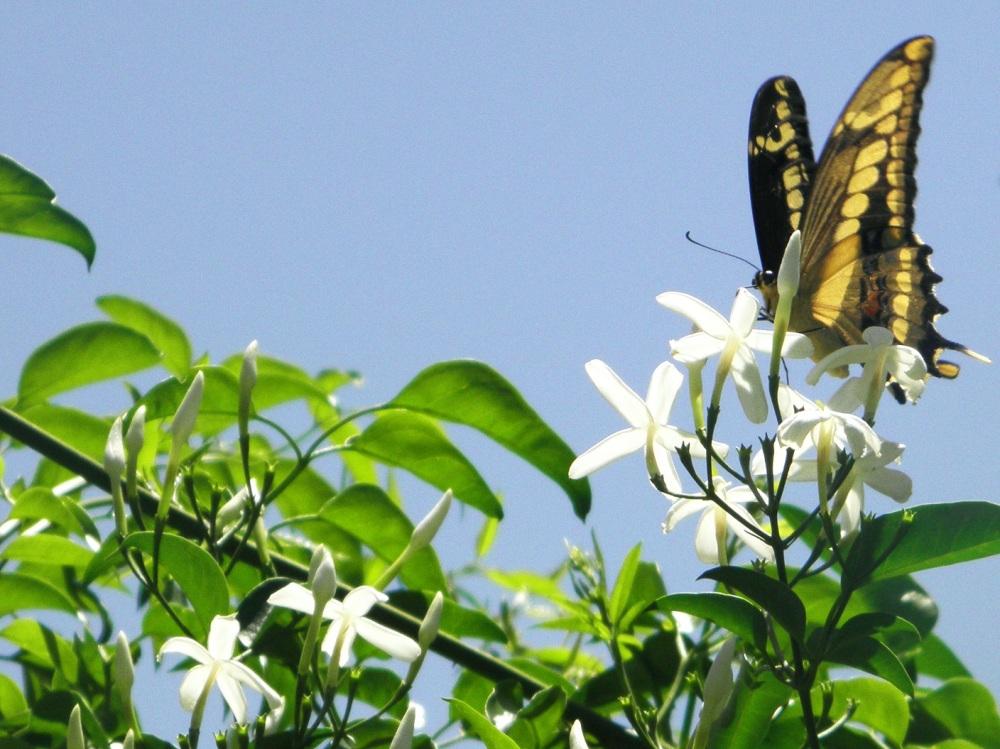 Mariposa en el jazmin