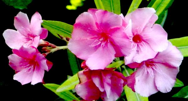 Flor de laurel de jardin