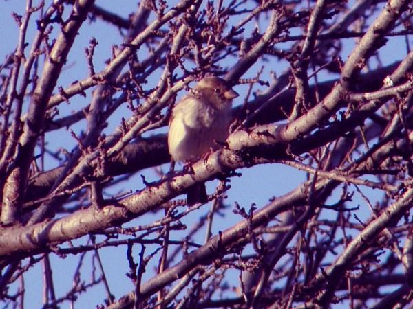 Gorrión sufriendo el frió de invierno