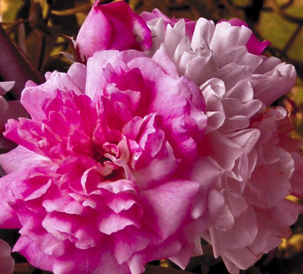 Flores 3 - 4