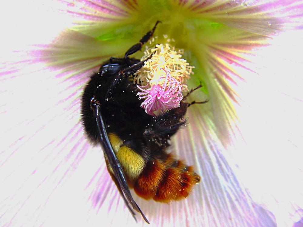 bee insect bumblebee flower pollen