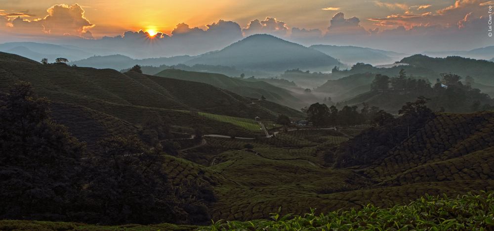 Dawn at tea plantation
