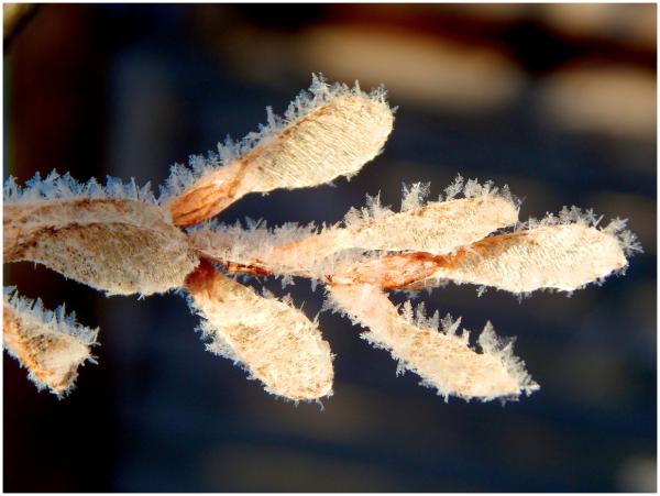 Maple keys in winter