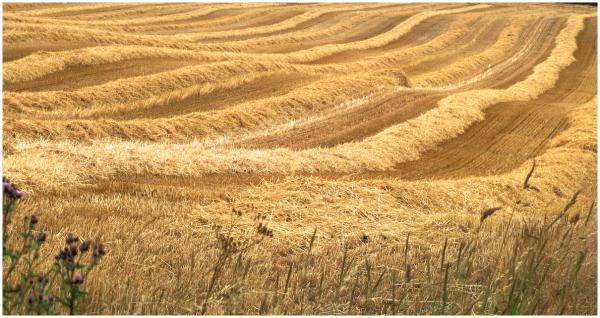 Mid-summer harvest
