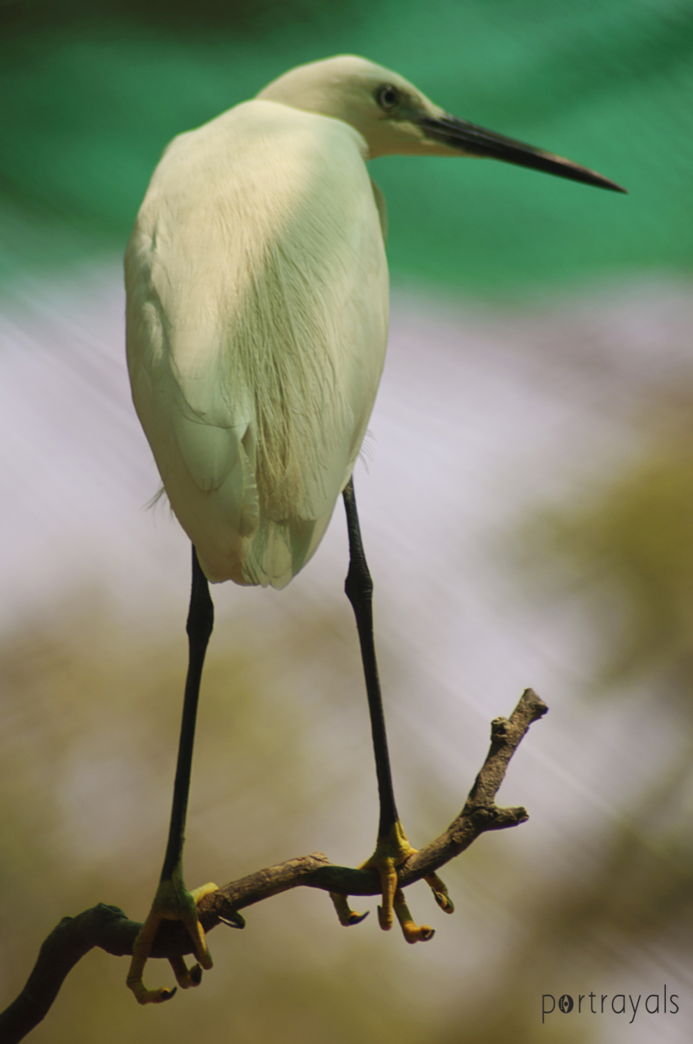 White bird at Vandalur Chennai India