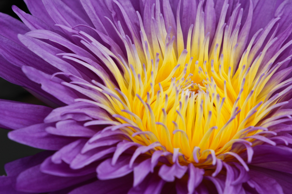 Longwood Gardens, Water Lilly, Purple flower