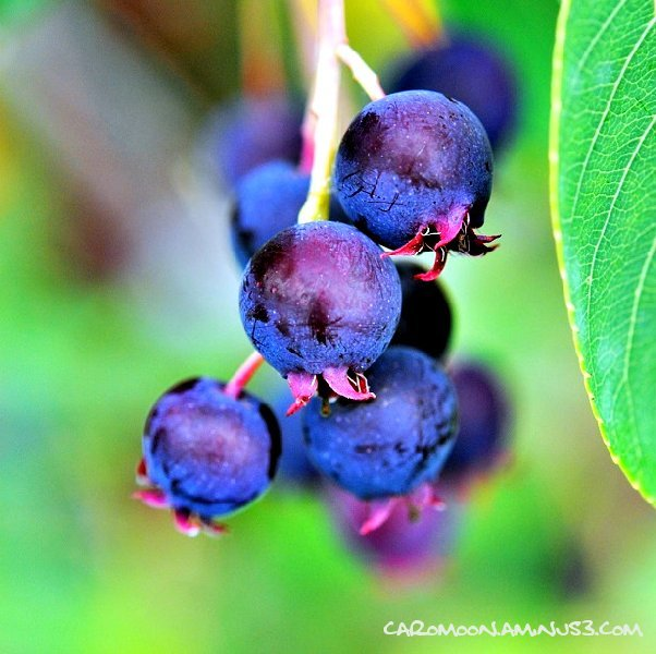 Berries for the Birds