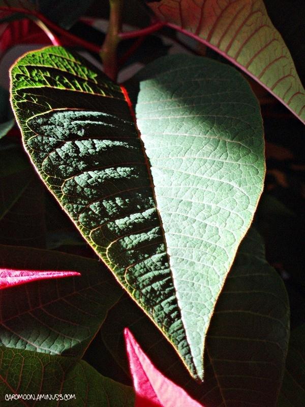 Poinsettia leaf up close