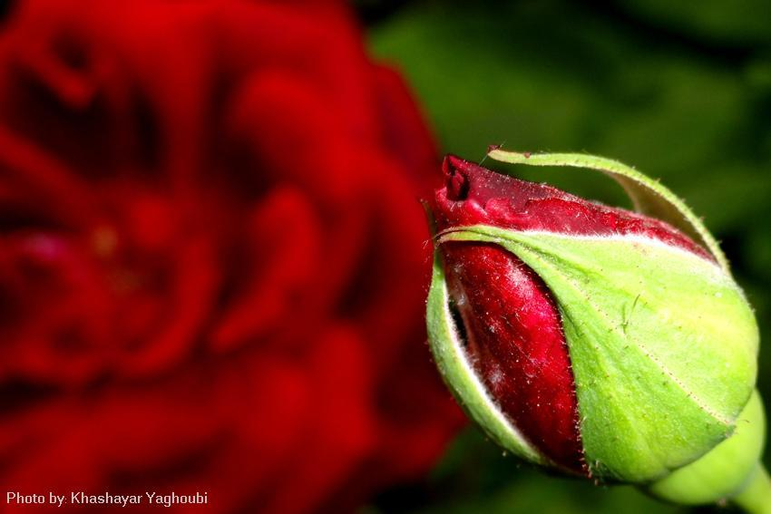 The secret of a Rose