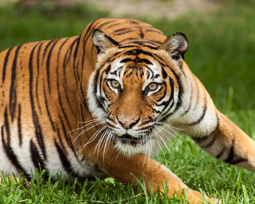 Tevy, female Malayan Tiger