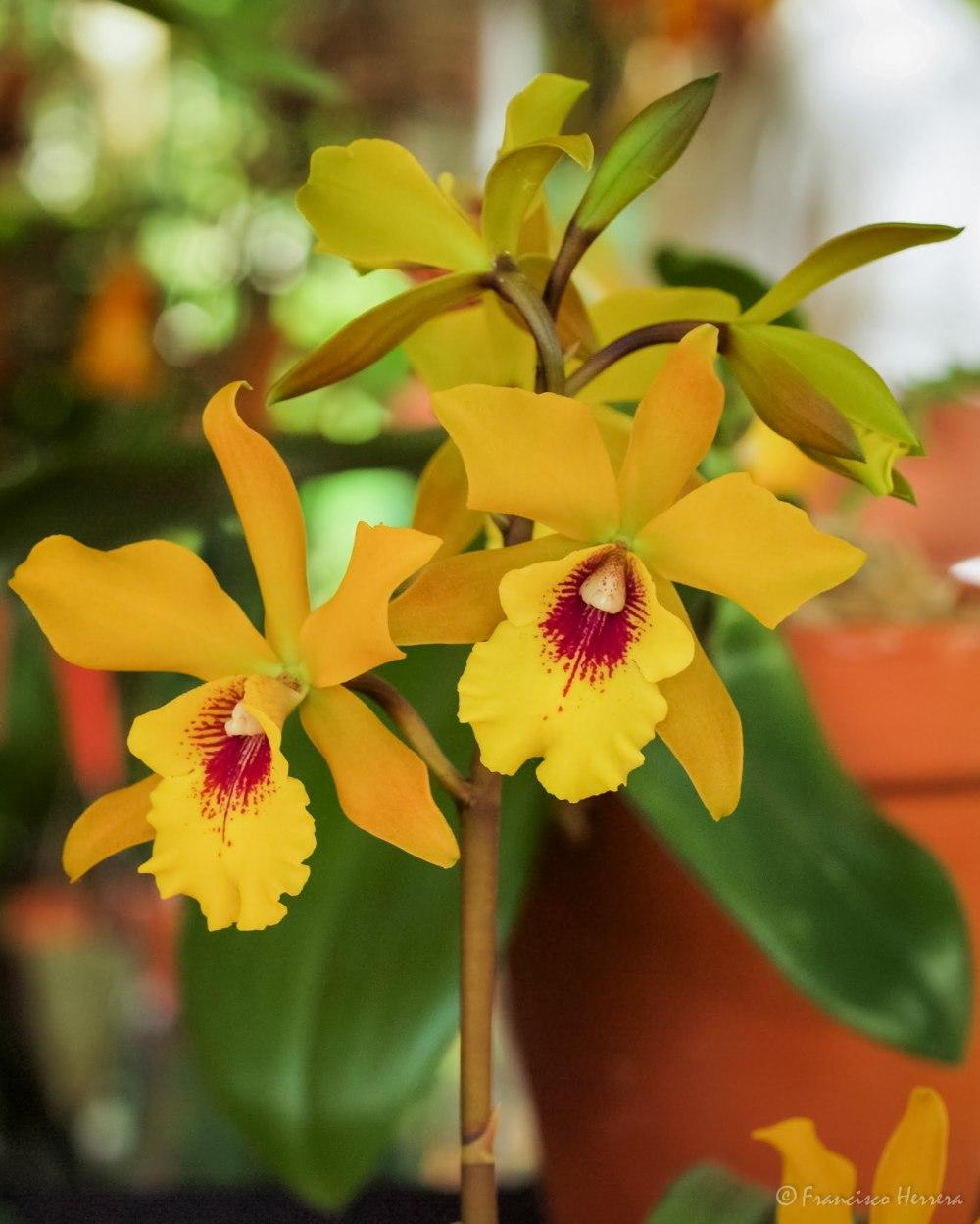 orquideas amarillas