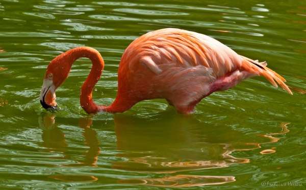 Flamingo, Flamenco
