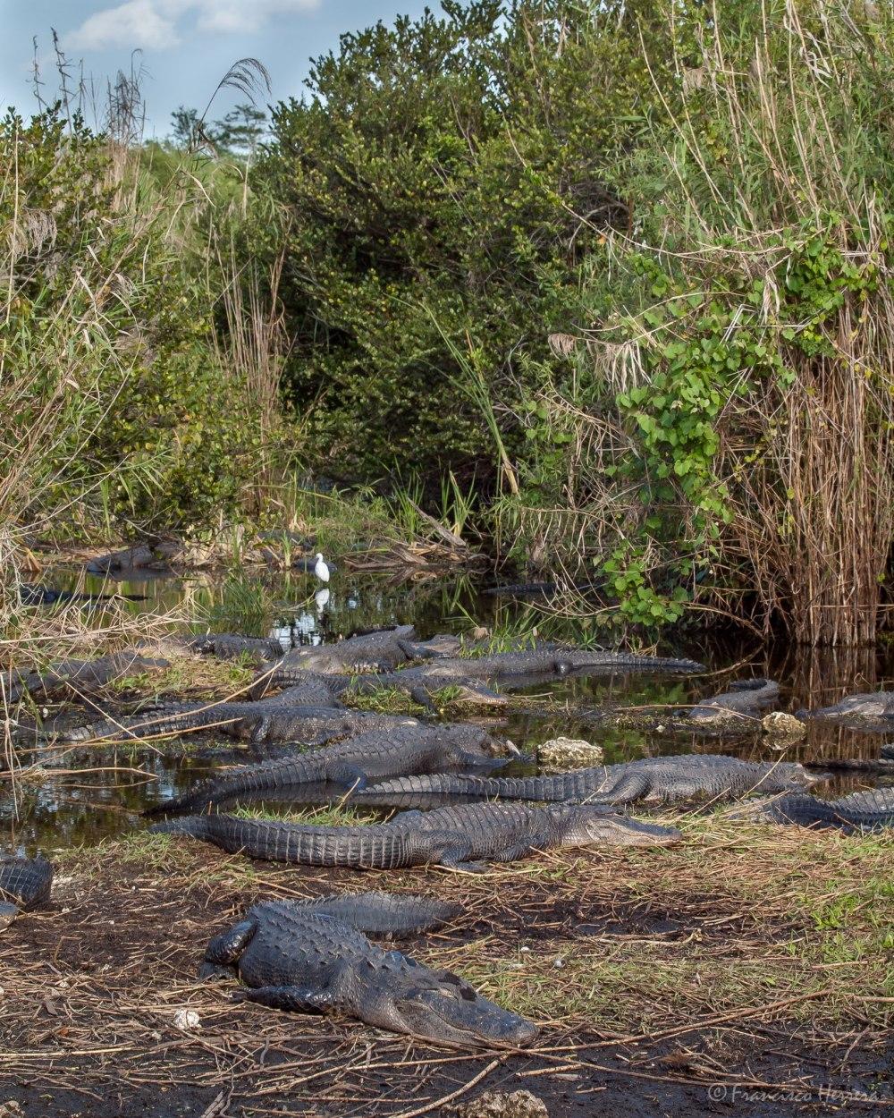 Alligator cove