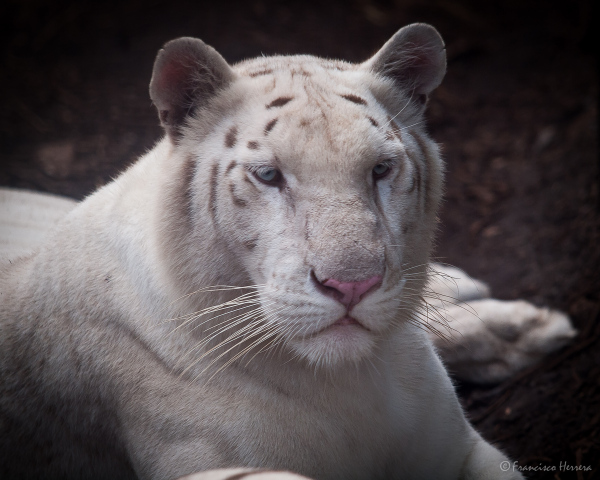 Snow White Tiger