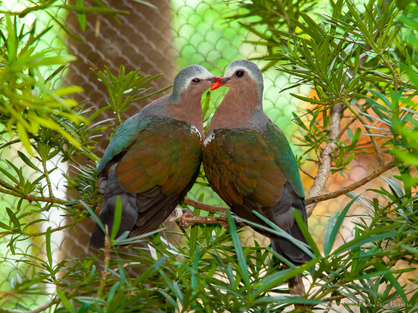 Green-winged dove or Common Emerald Dove