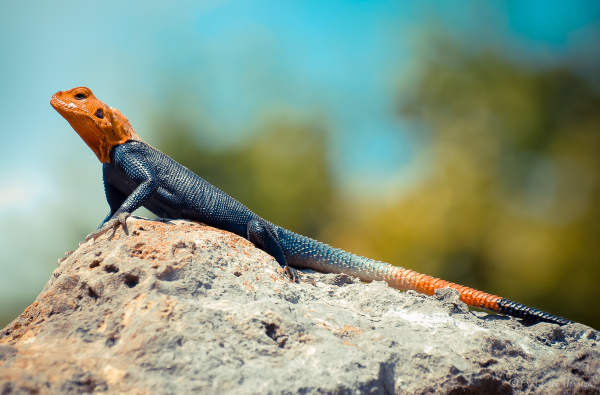 Red-headed agama (Agama agama)