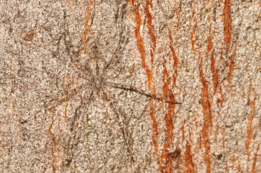 Two tailed spider - camouflage