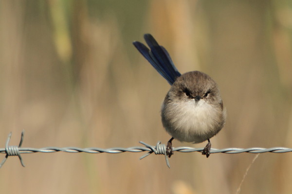 Superb fairy wren - young male