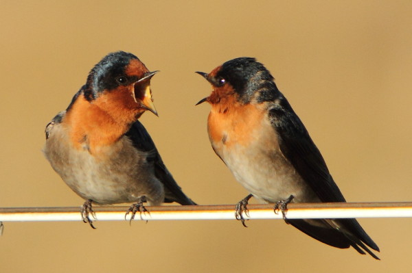Welcome swallows on a wire