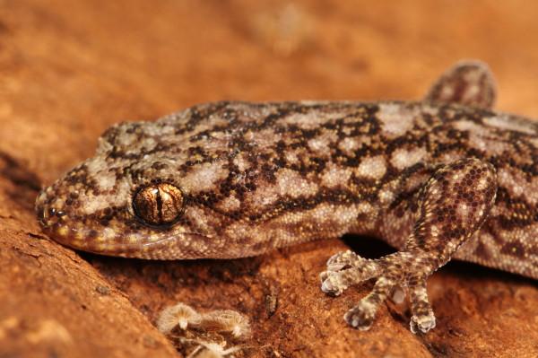 Marbled gecko portrait