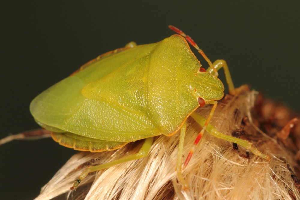 Pale green shieldbug