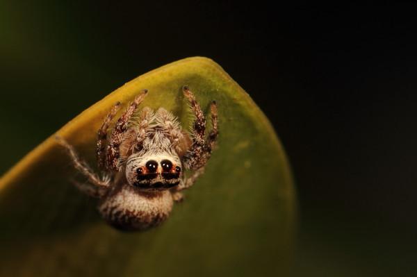 Jumping spider under a leaf