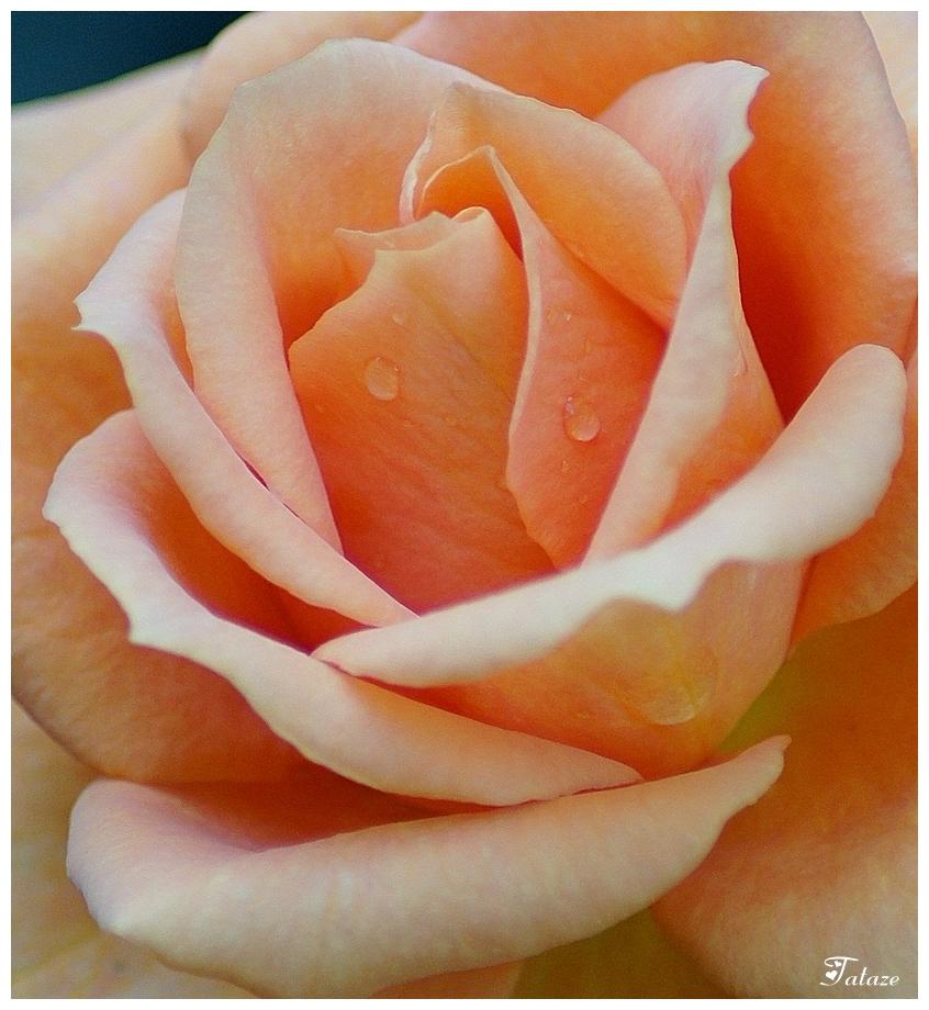 Les larmes de la rose