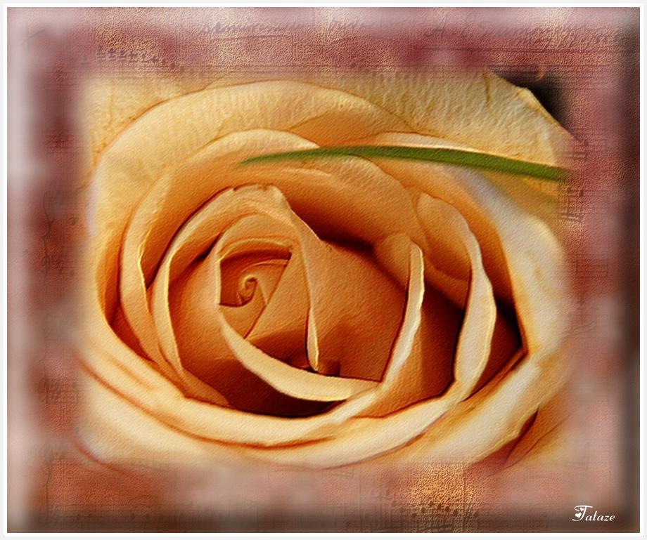 Composition pour une Rose