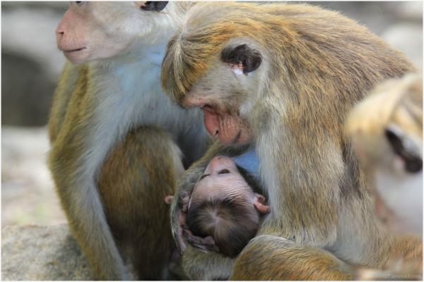 Scène familiale chez les macaques à toque