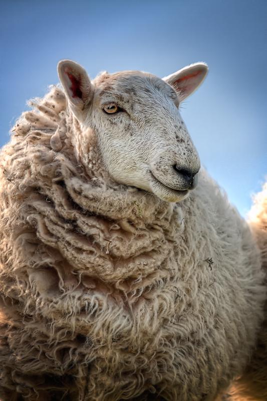 Studies of Sheep (3)