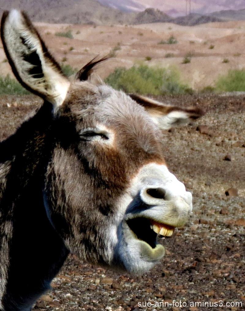 Laughing Donkey Wild-donkey desert