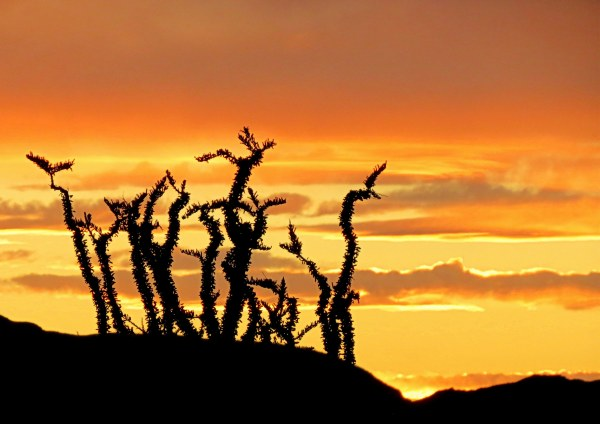 ocotillo at sunset- ocotillo cactus at sunset