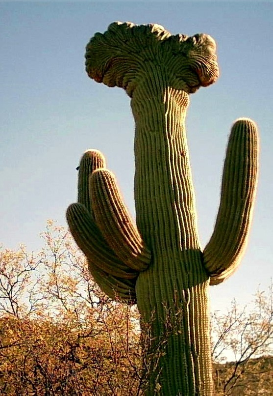 one of the rare crested cactus