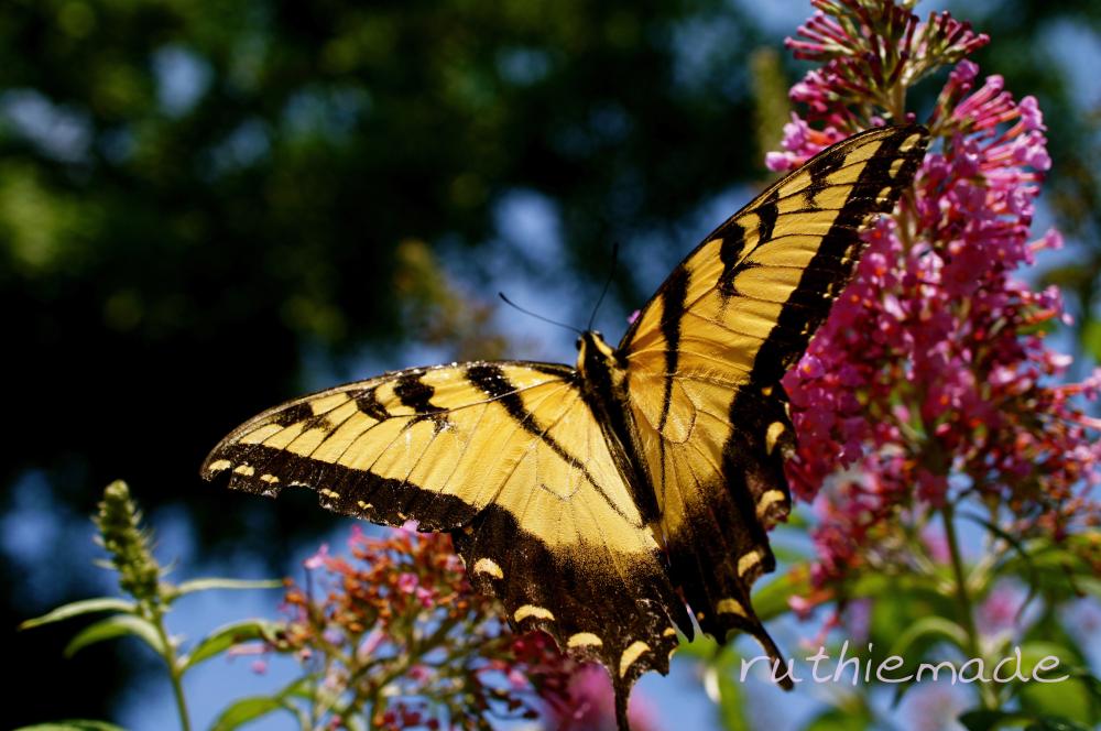 Butterfly on my bush 2